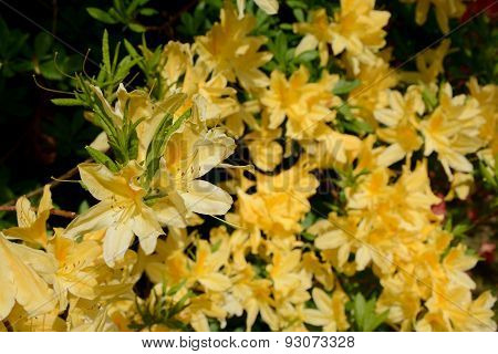 Azalea Yellow Flowers