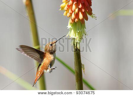 Rufous Hummingbird feeding on Red Hot Poker Flower