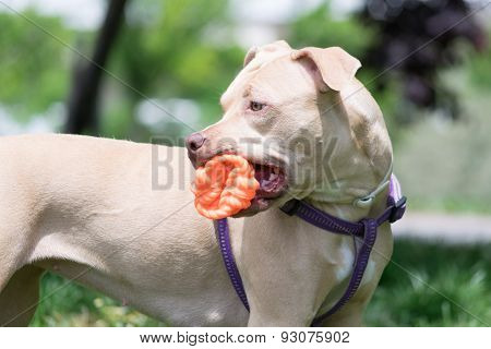 Cute American Pit bull terrier playing with a ball.