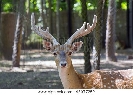Persian Fallow Deer (dama Mesopotamica)