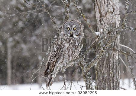 A lone Great Grey Owl in a winter scene