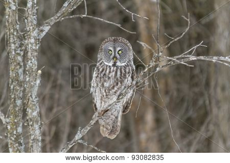 A lone Great Grey Owl