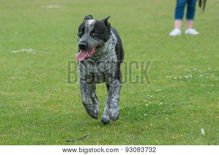 Pitbull heeler mixed dog