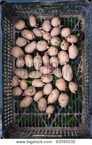 Sprouted Potatoes In The Box
