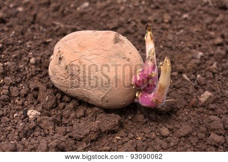 Germinating Potato Before The Planting
