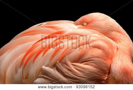 Very Beautiful Image of a Flamingo on Black