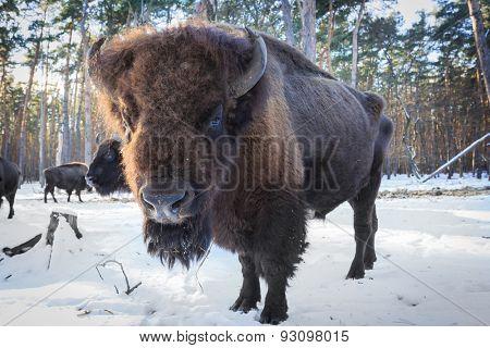 Big aurochs in winter forest