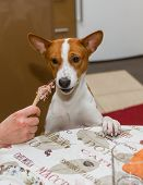 picture of laughable  - Portrait of indecisive basenji dog at dinner table - JPG