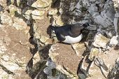 picture of cliffs  - Razorbill on the cliffs at bempton cliffs breeding colony England - JPG