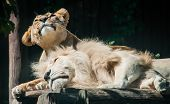 stock photo of mating  - Lions mates relaxed on a sunny day - JPG