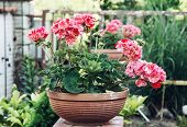 picture of lilas  - Potted pink Pelargonium flowers  - JPG