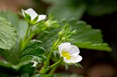 stock photo of strawberry plant  - Flowers of a strawberry plant - JPG