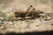 picture of locusts  - Migratory locust  - JPG
