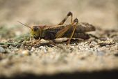 stock photo of locust  - Migratory locust  - JPG