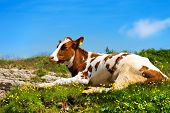 image of calf  - White and brown calf resting on a mountain pasture with green grass yellow flowers and blue sky with clouds - JPG