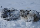 stock photo of sled  - Sleds sled dogs in Chukotka in the Blizzard and snow - JPG