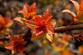 picture of orange blossom  - branch with striking orange blossoming leaves closeup - JPG