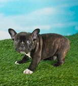 pic of french bulldog puppy  - Sweet little French Bulldog puppy standing in the grass looking very sad about something with copy space - JPG