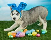 image of husky  - Funny Husky puppy that looks like he is pretending to be the Easter Bunny with Easter eggs around him - JPG