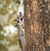 stock photo of possum  - A nocturnal Sugar Glider climbing a tree Trunk - JPG