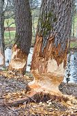 picture of beaver  - foto traces of beavers in the woods - JPG