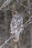 foto of snow owl  - A lone Great Grey Owl in a tree - JPG