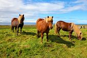 image of bay horse  - Summer in Iceland - JPG