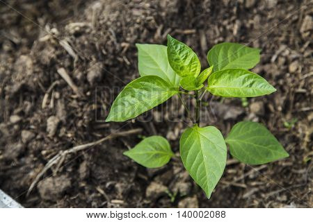 Peper seedling in greenhouse. spring, new life