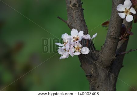cherry flowers on a tree close up