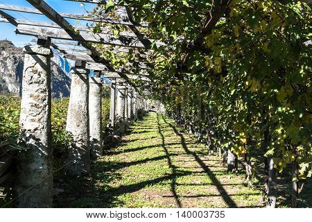 Aosta Valley,Italy,Europe - November 8, 2014 : View of a row of grape vines in Aosta Valley