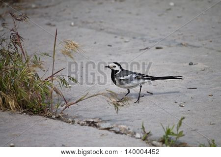 Grey Wagtail on the ground close up