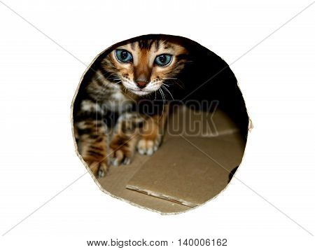 Bengal Cat Kitten Head Peeking Through Look Hole Of Cardboard Box
