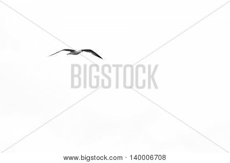 Seagull flying on overexposed white sky background in monochrome