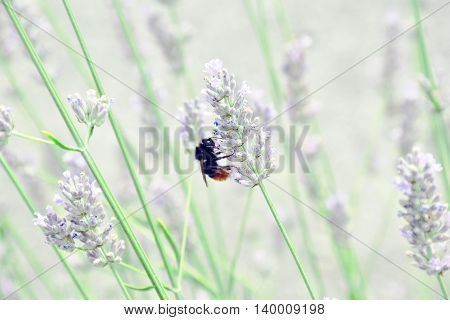 Bumblebee is supplied nectar on lavender flowers.