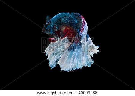Moment of betta fish siamese fighting fish isolated on black background