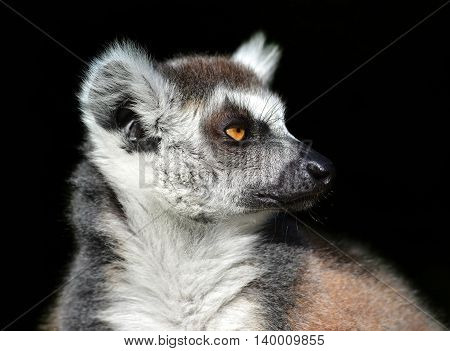 Ring-tailed lemur (Lemur Catta) against a black background