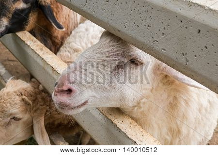 Sheep Waiting For Feeding In Fence