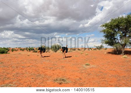 Lovely landscape in Kalahari with couple of ostrichs in bright colours at afternoon time