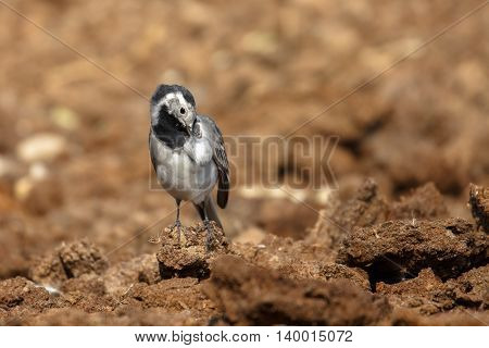 White Wagtail self-grooming in a farm in Bahrain.