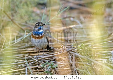 Bluethroat or Luscinia Svecica hiding behind the bushes in a water-logged area in Bahrain