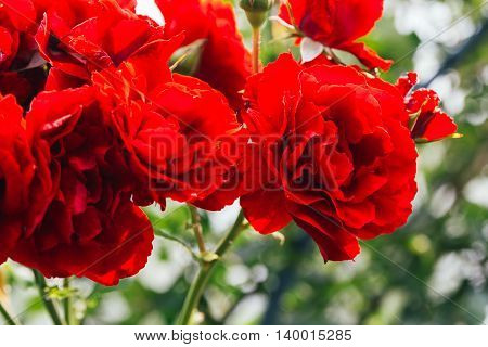 Bush Red Rose On A Background Of Leaves