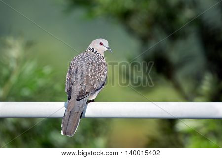 Spotted Dove sitting on a water-pipe in Marayoor, Kerala