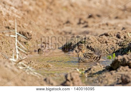 Red-throated Pipit or Anthus Cervinus in action as it bathes in a small pool of water, to escape from the hot sun, in a farm in Bahrain