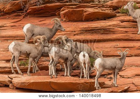 a small herd of desert bighorn sheep in zion national park utah