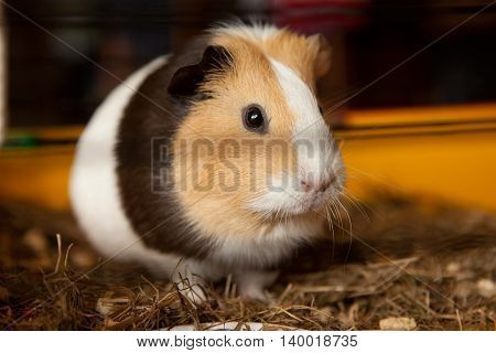 Guinea pig (Cavia porcellus) is a popular household pet.