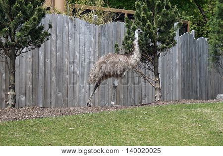 An Australian emu (Dromaius novaehollandiae) walks next to a fence.