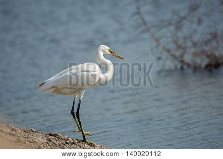 Western Reef Heron or Egretta gularis in a waterlogged area in Bahrain