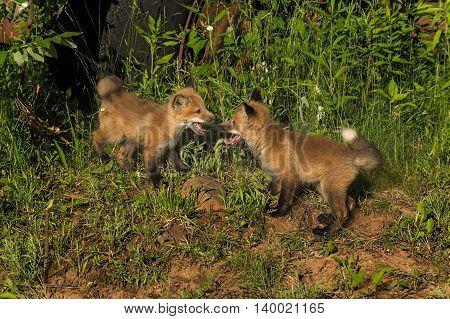 Two Red Fox Kits (Vulpes vulpes) Meet - captive animals
