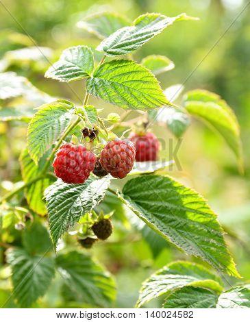 Wild bush ripe raspberries in summer nature