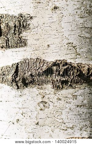The Bark Of Birch Texture. Wooden Background For Design